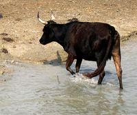 A Camargue bull