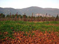 Vineyard and Luberon Mts.